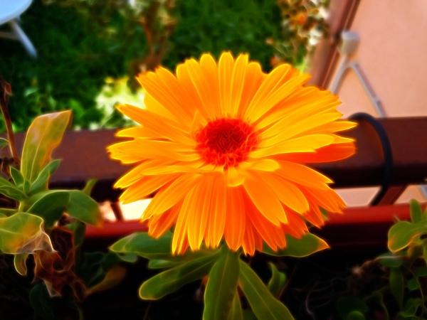 an orange flower by laura1