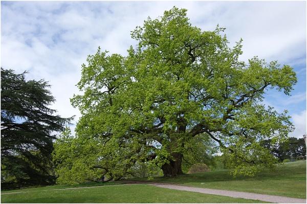 English Oak by johnriley1uk