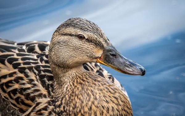 Portrait of the Female Mallard Duck by jimobee
