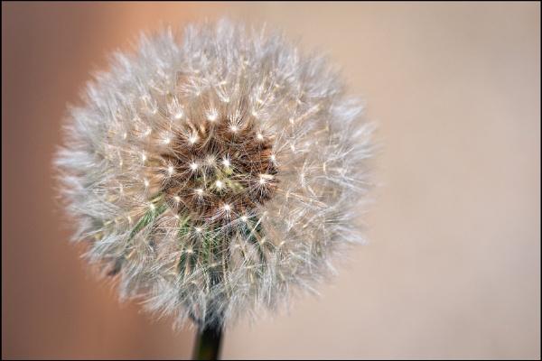 Simply a Dandelion by jimobee