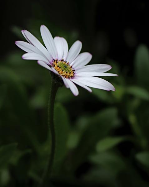 Cape Daisy by rickhanson