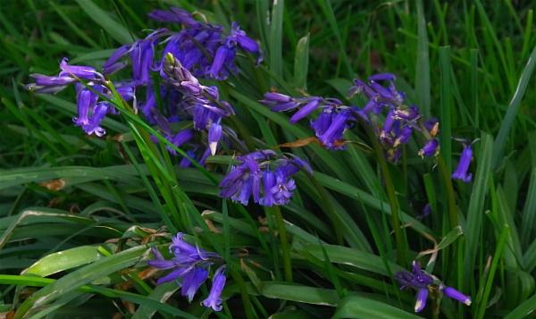 Blue Bells by af1