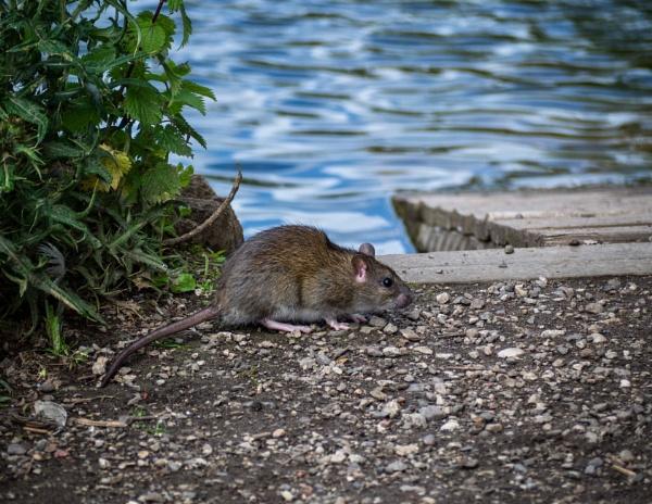 Brown Rat by victorburnside
