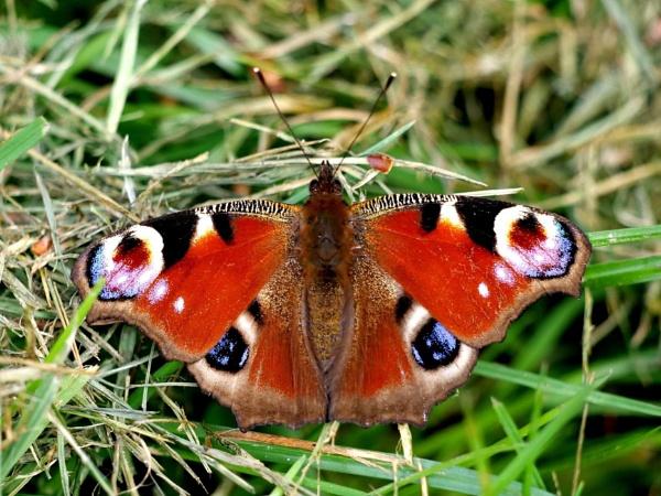 Peacock butterfly by DerekHollis