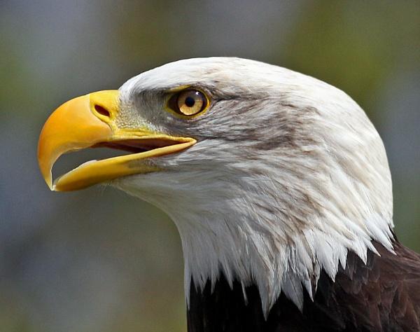 Bald Eagle by bobpaige1