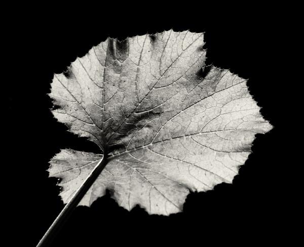 Courgette Leaf by Backabit