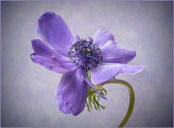 Anemone De Caen Blue