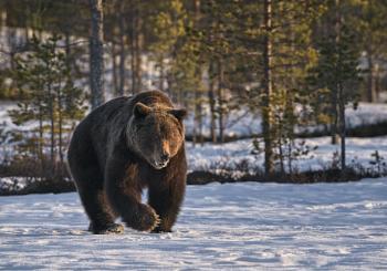 Bear in Viiksimo 2