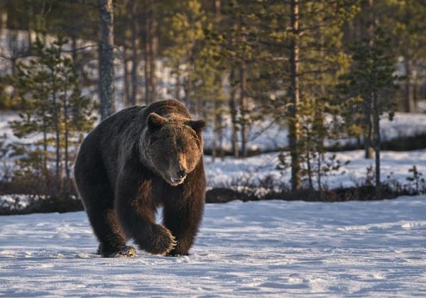 Bear in Viiksimo 2 by hannukon