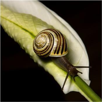 White lipped snail!