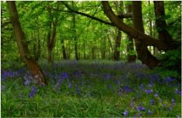 Bluebell woodlands!