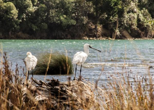 Spoonbills - NZ (I) by barryyoungnz