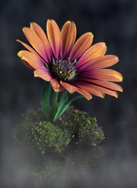 Osteospermum by loves2travel