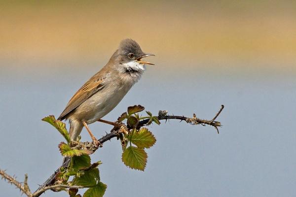 Male Common Whitethroat (Sylvia communis) by DerekL
