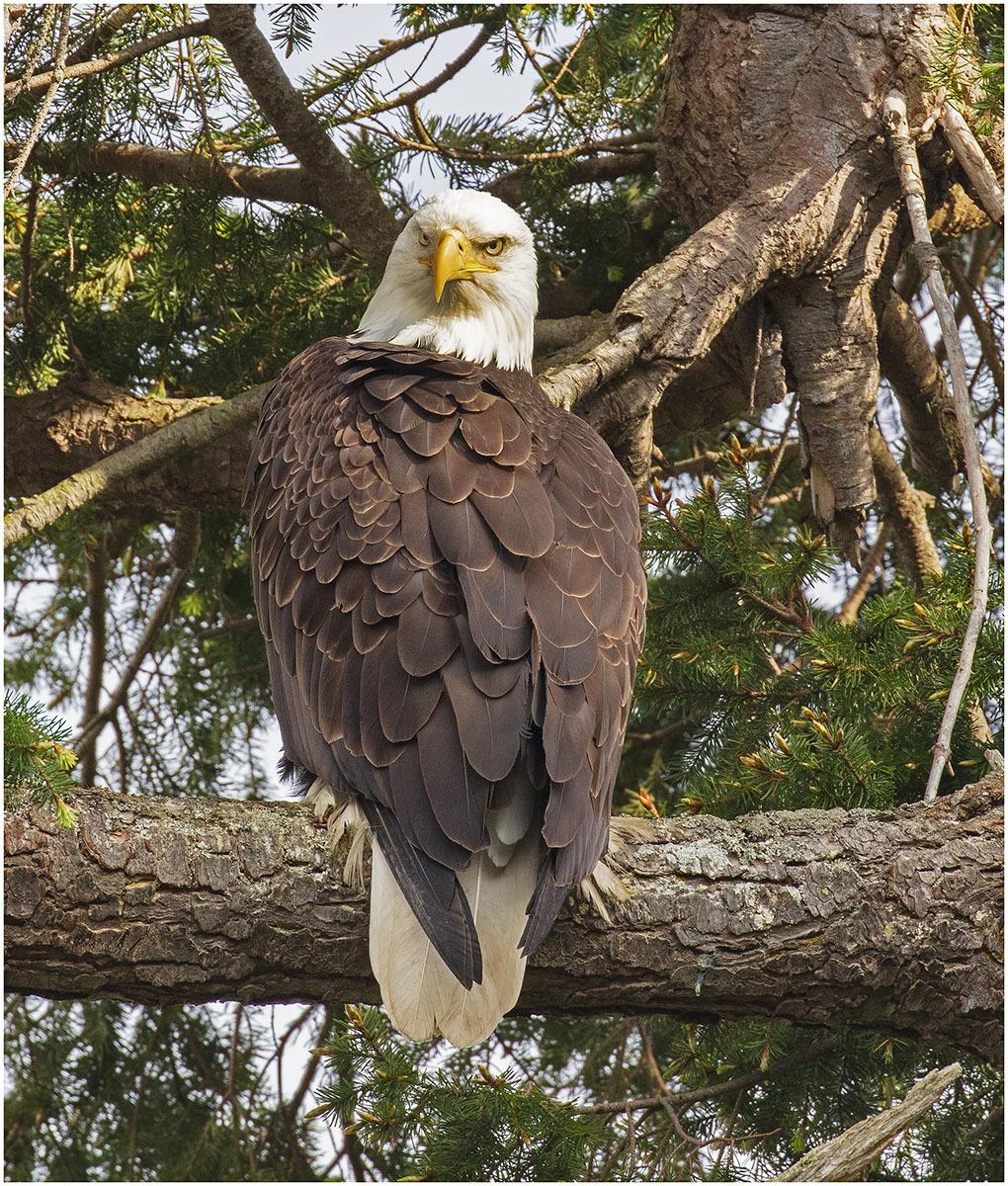 Bald Headed Eagle - Sequin Washington State USA
