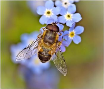 Drone - fly on Forget Me Nots.