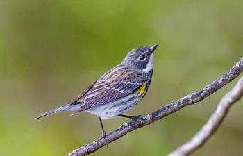 Yellow-rumped Warbler ( Myrtle)