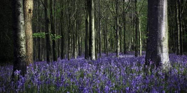 birds song, blues bells and a beech wood by oldbloke