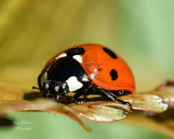 Ladybird by margymoo