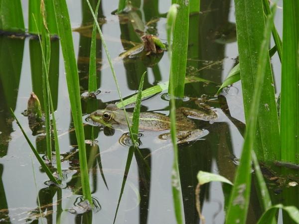 frog by Sanikz