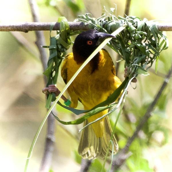 Weaverbird by martin174