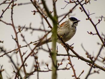 Birdsong Solo