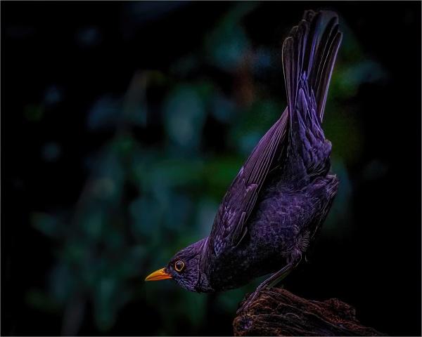 Blackbird by photographerjoe