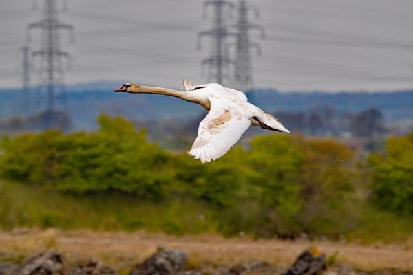 Swan Flypast by terra