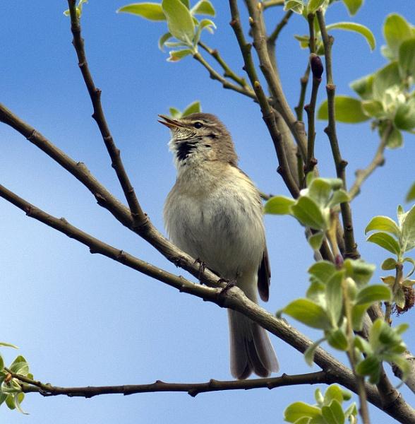 Warbler by oldgreyheron