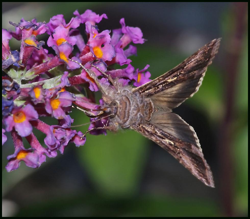 Silver Y Moth ....