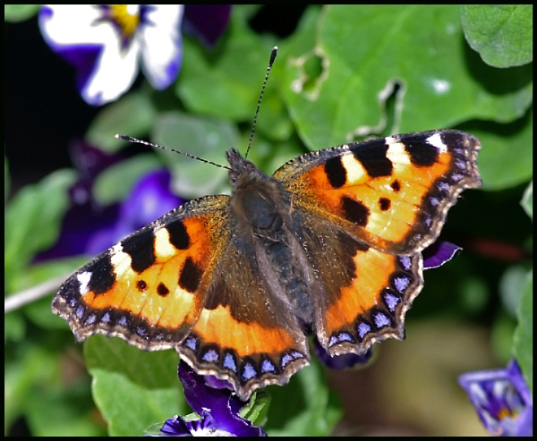 Small Tortoiseshell on a Pansy ... by Badgerfred