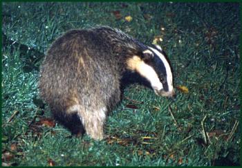 A Badger on the Farm ...