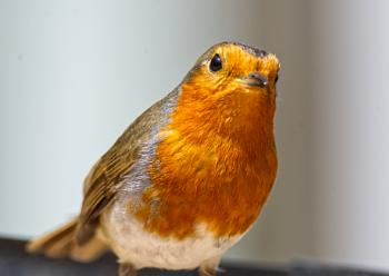 Portrait of a Robin