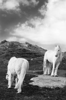 The Luskentyre Ponies