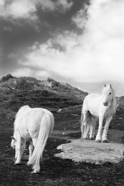 The Luskentyre Ponies by AndrewAlbert