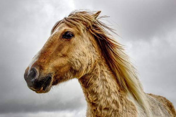 Dartmoor Pony by dflory