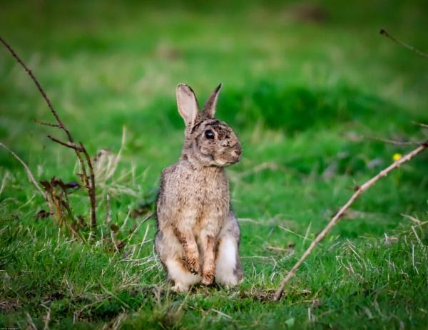 Rabbit by kelvin7