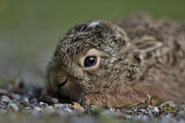 wild baby hare by maratsuikka