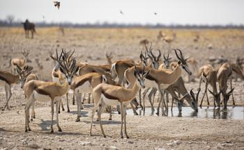Springbok at the waterhole