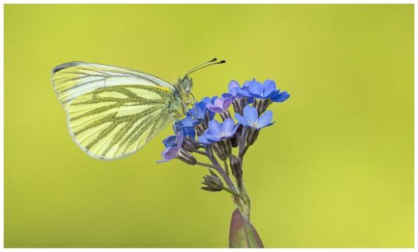 Green Veined White - Pieris napi. by NigelKiteley