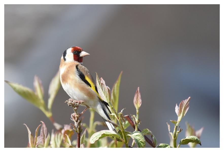 Goldfinch in front garden