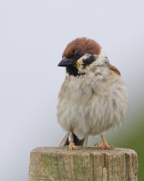 Tree Sparrow by Alan_Baseley
