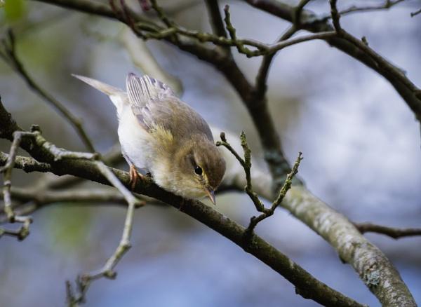 Willow Warbler by jasonrwl