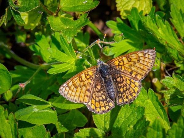 Glanville Fritillary (Melltaea athalia) by chavender
