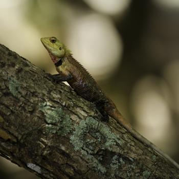 another oriental garden lizard