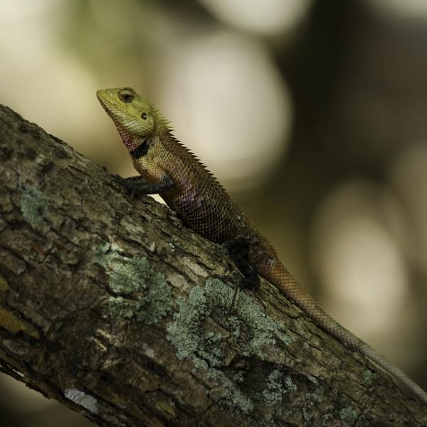 another oriental garden lizard by tpfkapm