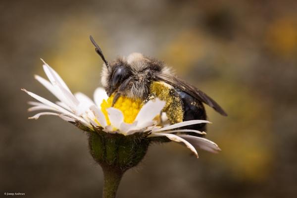 Ashy Mining Bee on a Daisy by JonnyNI