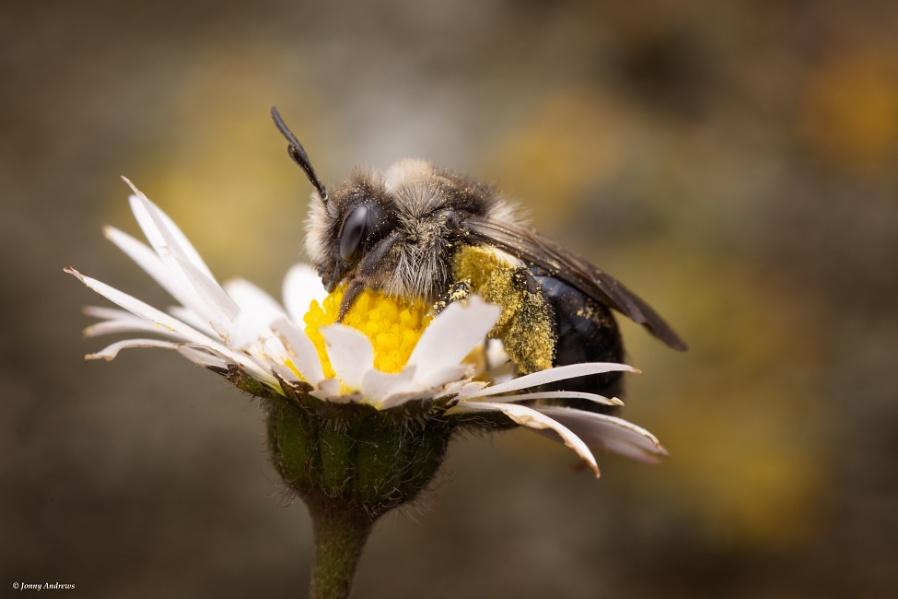 Ashy Mining Bee on a Daisy