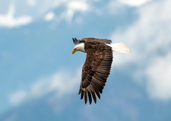 Bald Eagle in flight by StuartDavie