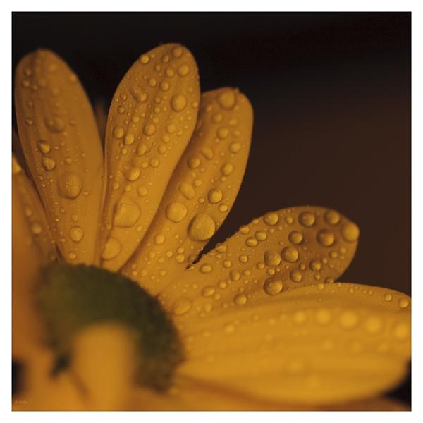 yellow macro by mohikan22